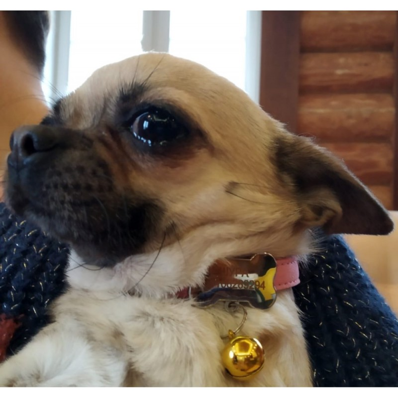 collier avec clochette pour petit chien carlin
