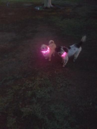 collier lumineux la nuit pour chien
