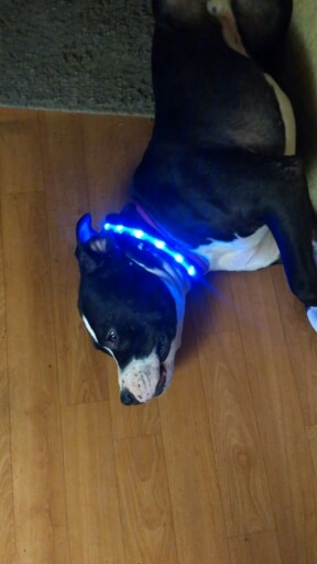 collier led lumineux pour chien